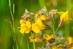 紧密Seep开花在南旧金山湾区草甸的猴子花(Mimulus guttatus),圣塔克拉拉县, 免版税图库摄影