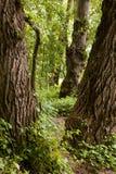 紧紧被植生的森林 免版税库存图片