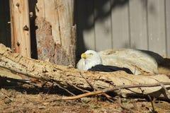 紧贴在森林区域坐美国白头鹰 图库摄影