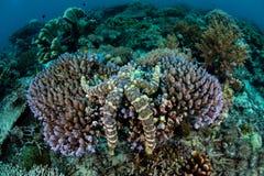 紧贴对一块礁石的有疣的海星在印度尼西亚 库存图片