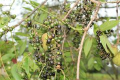 紧贴对一棵黑核桃木树的狂放的葡萄树 免版税库存照片