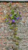 紧贴对老破旧的砖墙的紫色铁线莲属在英国庭院里 免版税图库摄影