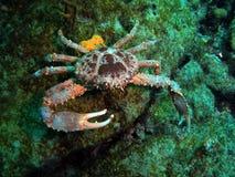 紧贴的螃蟹 免版税库存图片