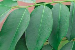 紫檀在叶子关闭的macrocarpus绿色 库存照片
