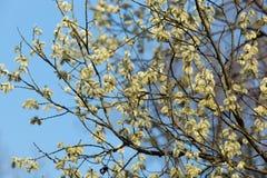 紫皮柳树的柳属淡黄色杨柳 免版税库存图片