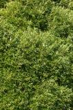 紫皮柳树的柳属淡黄色杨柳 库存图片