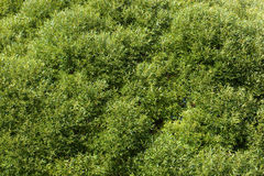 紫皮柳树的柳属淡黄色杨柳 免版税图库摄影