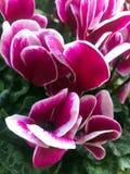紫红色和白色仙客来花 在庭院里 图库摄影