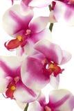 紫红色的兰花 库存照片