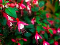 紫红色的花在公园 图库摄影