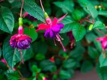 紫红色的花在公园 免版税库存照片