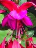 紫红色的花特写镜头从庭院的 库存图片