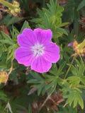 紫红色的花 库存图片