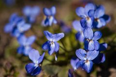 紫罗兰中提琴odorata在一块晴朗的春天森林沼地 库存图片