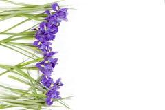 紫罗兰使xiphium球茎虹膜,在白色背景的虹膜sibirica现虹彩与文本的空间 顶视图,平的位置 假日招呼 库存照片
