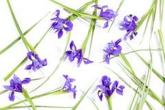 紫罗兰使xiphium球茎虹膜,在白色背景的虹膜sibirica现虹彩与文本的空间 顶视图,平的位置 假日招呼 免版税图库摄影