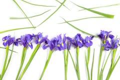 紫罗兰使xiphium球茎虹膜,在白色背景的虹膜sibirica现虹彩与文本的空间 顶视图,平的位置 假日招呼 库存图片