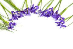 紫罗兰使xiphium球茎虹膜,在白色背景的虹膜sibirica现虹彩与文本的空间 顶视图,平的位置 假日招呼 免版税库存照片