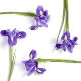 紫罗兰使xiphium球茎虹膜,在白色背景的虹膜sibirica现虹彩与文本的空间 顶视图,平的位置 假日招呼 免版税库存图片