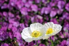 紫罗兰和白色 免版税库存照片