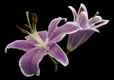 紫罗兰开花在黑色被隔绝的背景的百合与裁减路线没有阴影 特写镜头 免版税库存图片