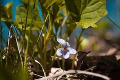 紫罗兰色中提琴odorata的浅兰的花在一块晴朗的春天森林沼地 库存图片