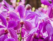 紫罗兰色兜兰兰花 免版税库存照片