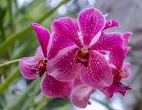 紫罗兰色兜兰兰花 库存图片