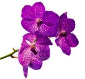 紫罗兰色兰花 免版税库存照片