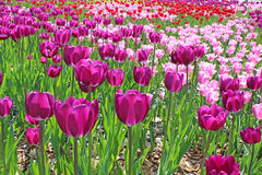 紫罗兰色和桃红色郁金香 免版税库存照片