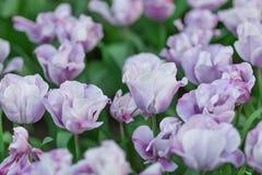 紫罗兰色和白色郁金香特写镜头 库存照片