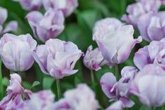 紫罗兰色和白色郁金香特写镜头 免版税库存照片