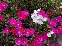 紫罗兰色和白花 免版税库存照片