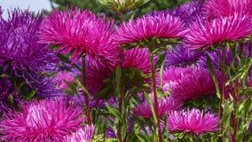 紫罗兰色和红色庭院翠菊 库存照片
