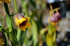 紫罗兰色和黄色从火鸡,登上的贝母michailovsky花在夏天阳光下palendoken 图库摄影