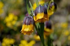 紫罗兰色和黄色从火鸡,登上的贝母michailovsky花在夏天palendoken 免版税图库摄影