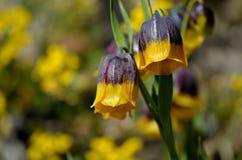 紫罗兰色和黄色从火鸡,登上的贝母michailovsky花在夏天palendoken 库存照片