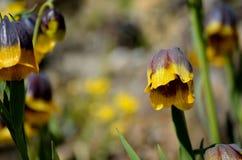 紫罗兰色和黄色从火鸡,登上的贝母michailovsky花在夏天palendoken 免版税库存照片
