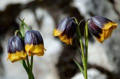 紫罗兰色和黄色从火鸡,登上的贝母michailovsky花在夏天palendoken 图库摄影