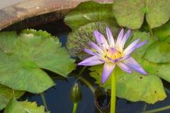 紫罗兰色和黄色,充分开花的莲花的一个惊人美丽的特写镜头,群集与蜂,在一个陶瓷水罐,  免版税图库摄影