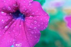 紫罗兰色喇叭花特写镜头宏观摄制在被弄脏的背景的 免版税库存图片