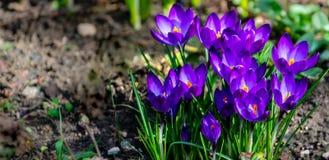 紫罗兰色在自然绿色背景的番红花红宝石巨人春天特写镜头  库存照片