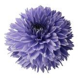 紫罗兰色大丽花 开花在与裁减路线的白色被隔绝的背景 对设计 特写镜头 免版税库存图片