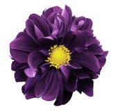 紫罗兰色大丽花 开花在与裁减路线的白色被隔绝的背景 对设计 特写镜头 库存照片