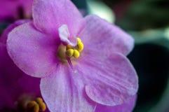 紫罗兰色家庭的植物类  免版税库存照片