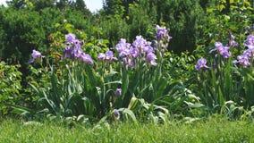 紫罗兰色庭院使绽放现虹彩