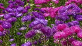 紫罗兰色庭院翠菊 免版税库存照片