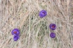 紫罗兰色春天花 免版税库存照片