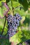 紫罗兰色束的葡萄 免版税图库摄影