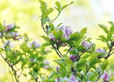 紫罗兰色桃红色木兰花 令人惊讶的桃红色木兰背景美好的开花的木兰分支在春天 桃红色盛开木兰花 库存照片
